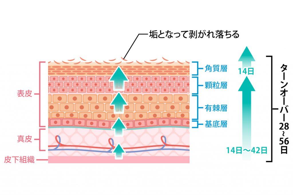 科 鮫肌 皮膚